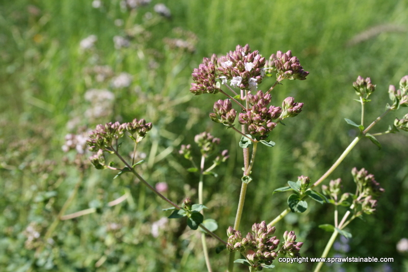 Oregano Herb Flower