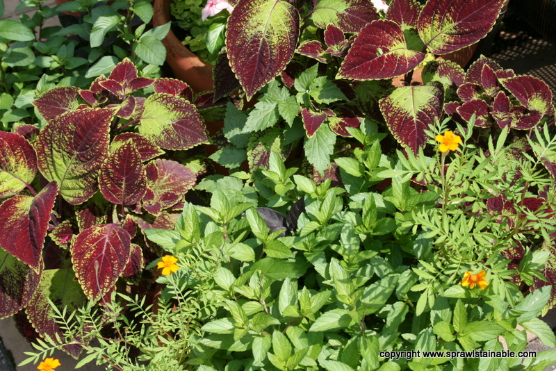 Coleus and Chocolate Mint