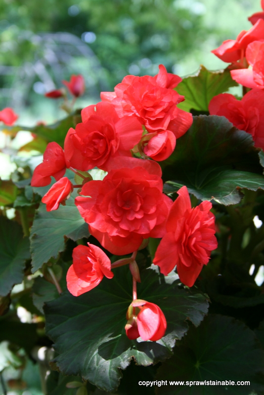 Fibrous Begonia with orange flowers