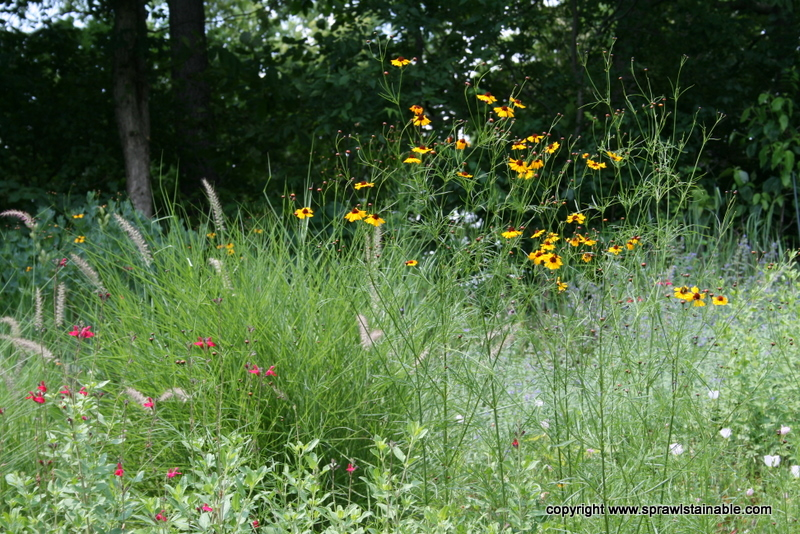 Native Coreopsis Tinctoria and Salvia Gregii Maraschino