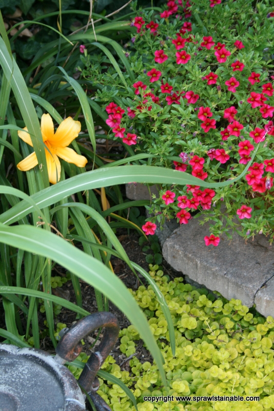 Million Bells Daylily and Creeping Jenny