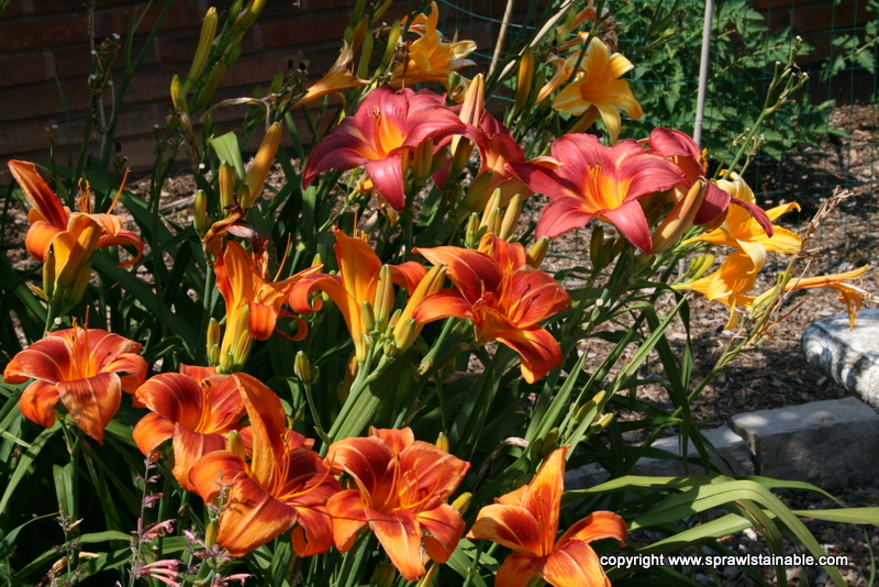 Mid Season Daylilies