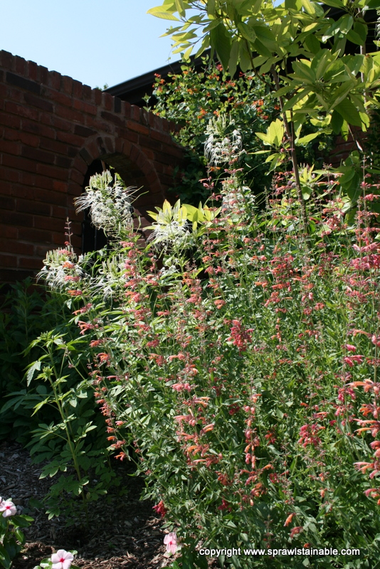 Cleome and Firebird Agastache Combination