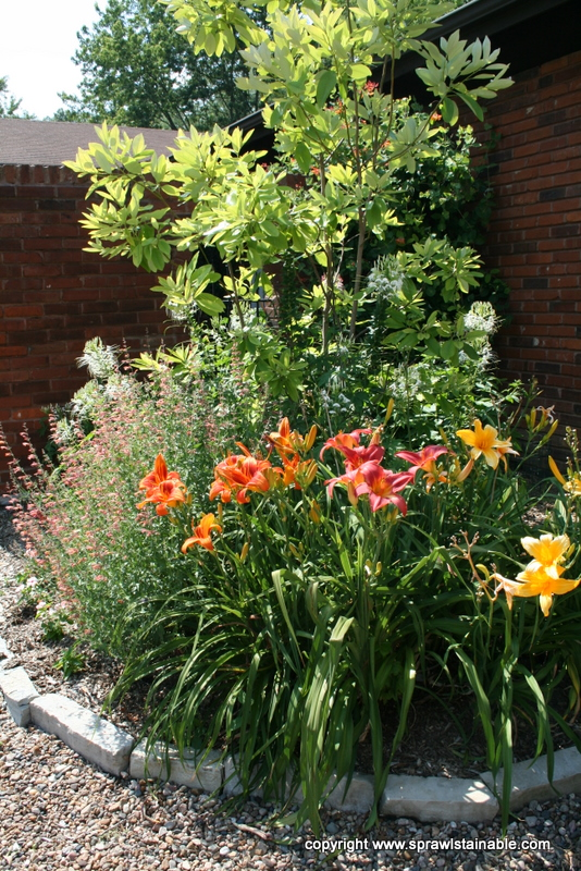 Sweetbay Magnolia, Daylily, Cleome and 'Firebird' Agastache