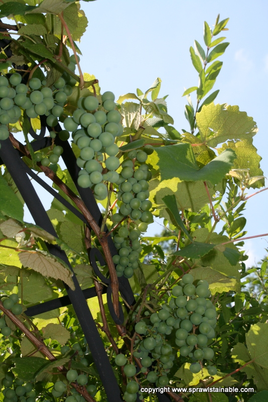 Steuben Grape in June