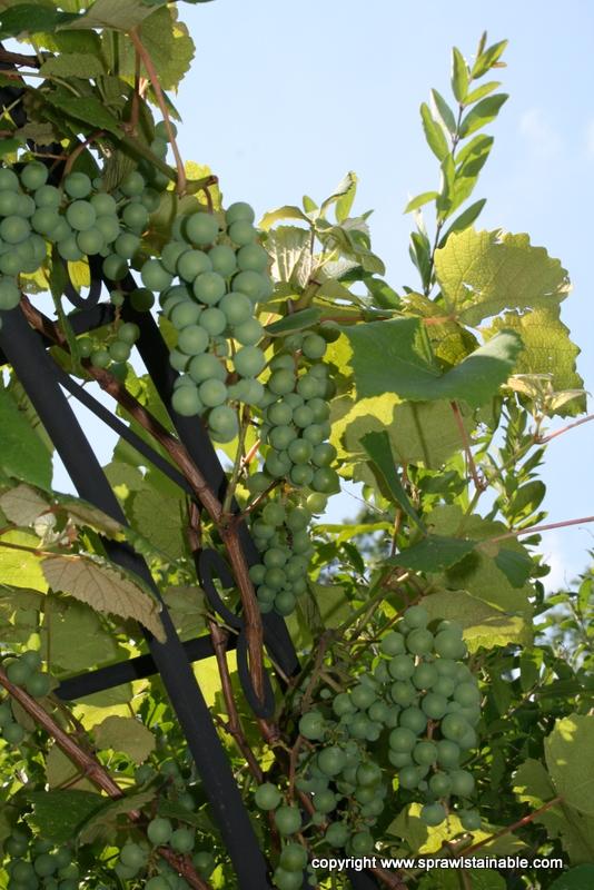 Steuben Grape in June