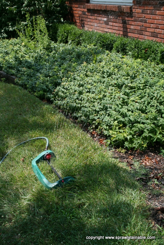 Summer Drought Irrigation on hypericum calycinum