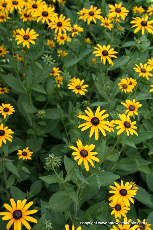 Rudbeckia fulgida species - Native Black Eyed Susan