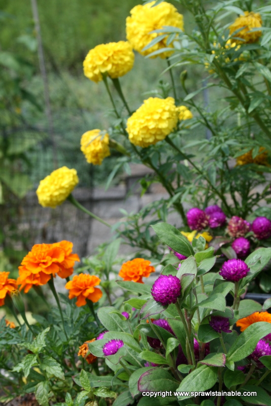 Hot Summer Flower Combination - Deer Resistant Marigolds and Gomphrena