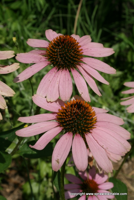 Native Purple Cone Flower Echinacea Purpurea