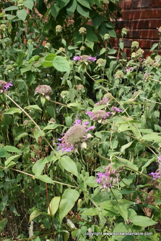 Monarda - Bee Balm Flowers