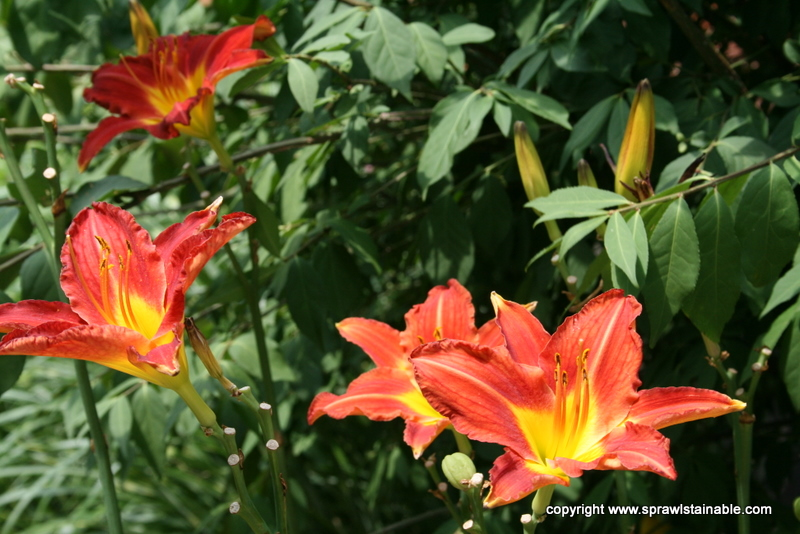Late Blooming 'Chicago Fire' Daylily