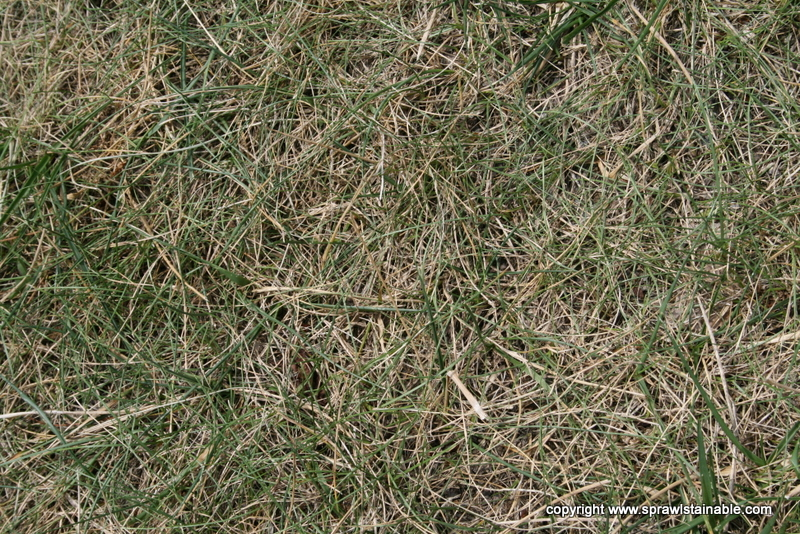 Drought Stressed dormant turf grass
