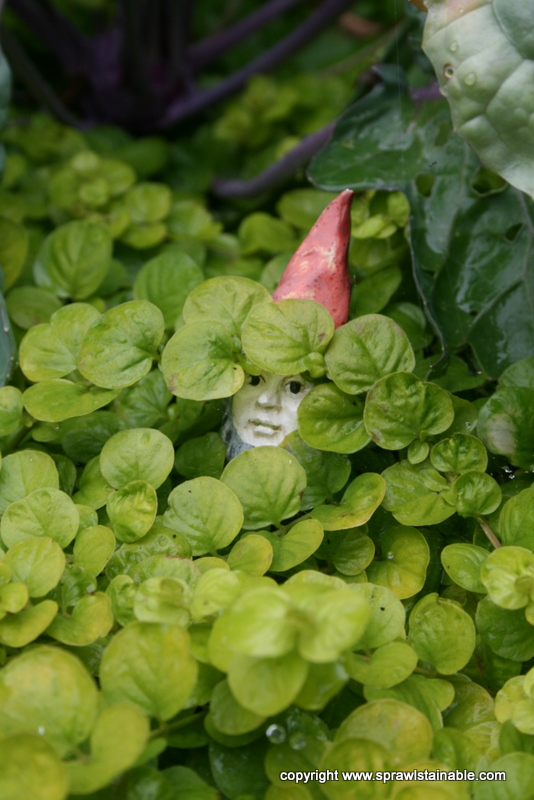 Lysimachia nummularia 'Aurea' aka Creeping Jenny/Moneywort and shy garden gnome