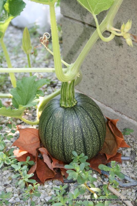 Spookie Pumpkin