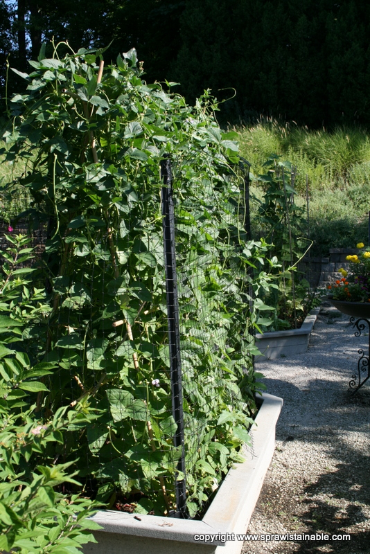 Raised Bed, Bamboo Trellis, Deer Fence and Yardlong Climbing Beans
