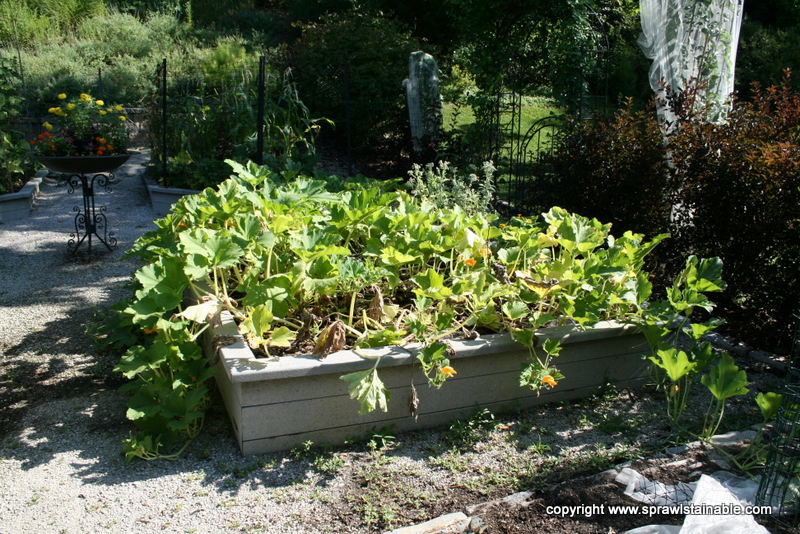 'Spookie' Pumpkin and Heirloom Watermelon growing in a raised bed