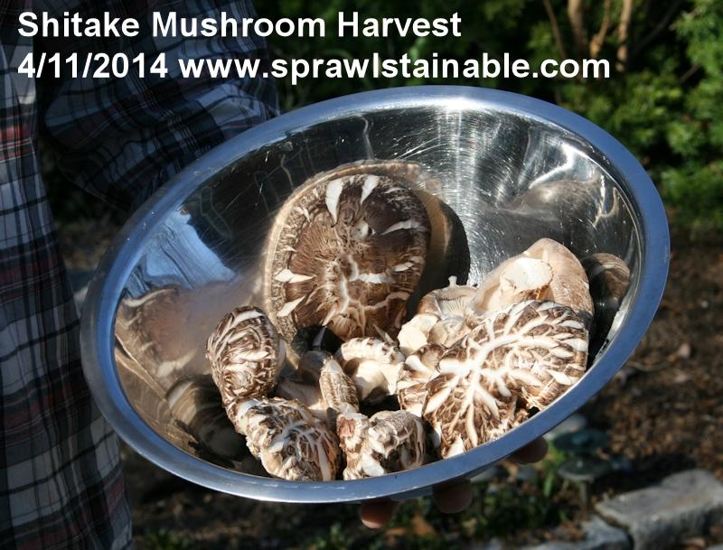 Shitake Mushroom harvest