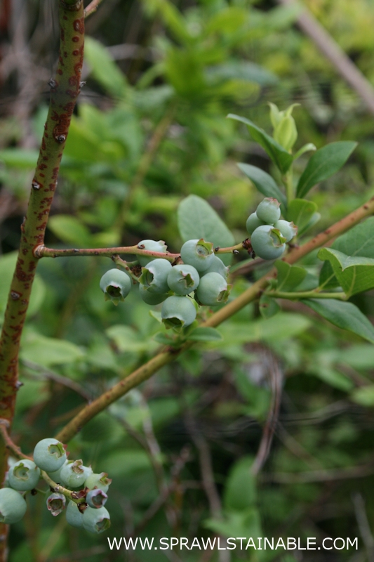 immature blueberries on a plant that overwintered in a container, zone 6