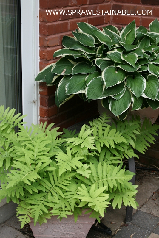 Hosta and ferns that overwinter outside in their containers in my zone 6 (last winter it dropped to zone 5) garden