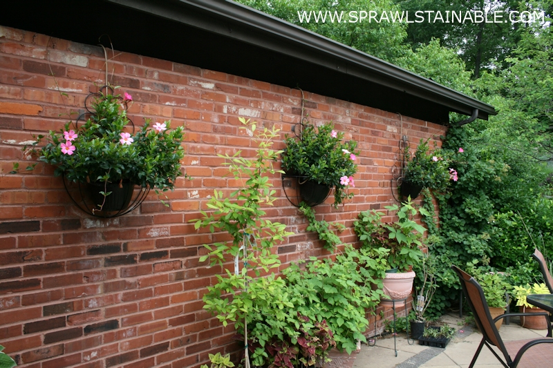 Mandevilla in hanging wall basket planters.
