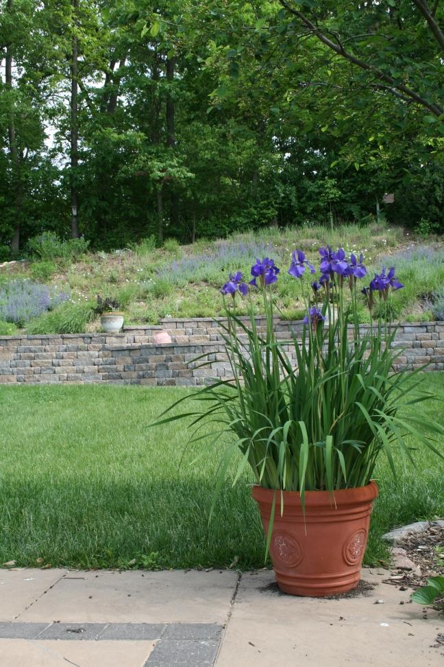 Siberian Iris In Pot Front Of Hillside Garden
